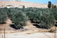 Olivares en el Negev